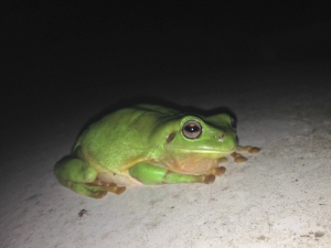 Green Tree Frog Picture